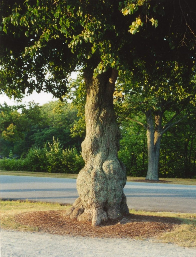 Tree with cancer due to geopathic stress